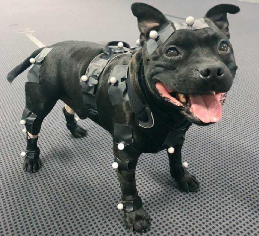 cane bulldog pelo nero