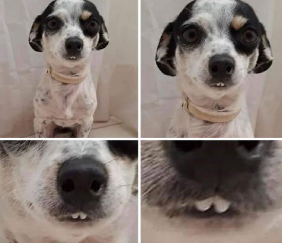 stesso cane con piccoli denti