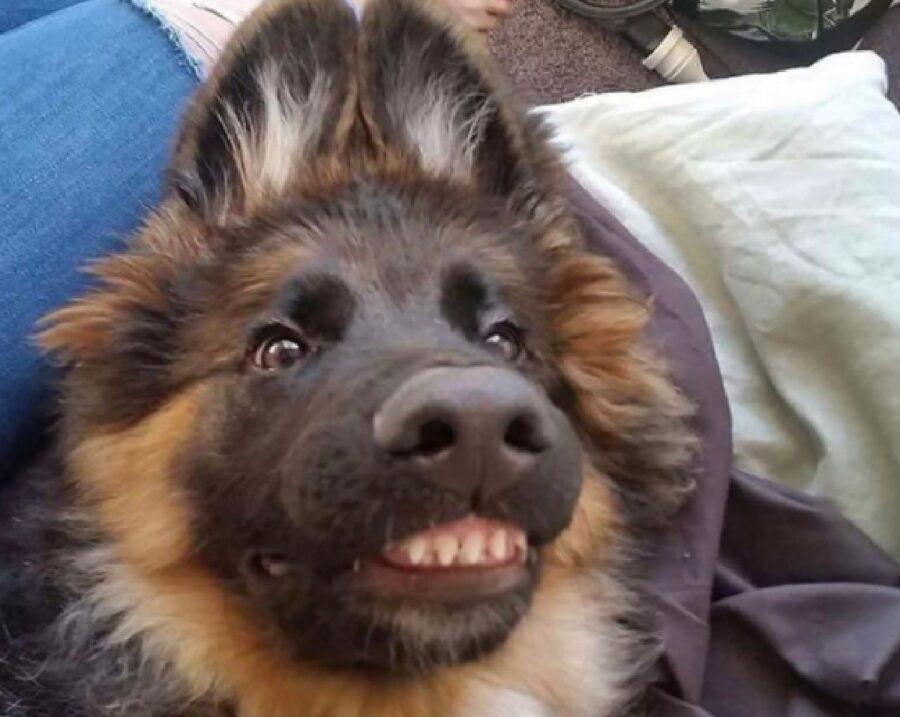cagnolino orecchi alzate