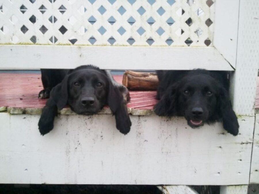 cani due neri piccoli