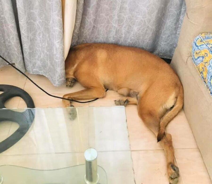 cane nasconde solo testa