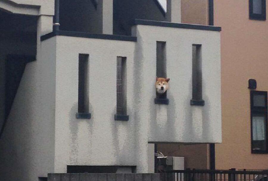 cane shiba inu finestre