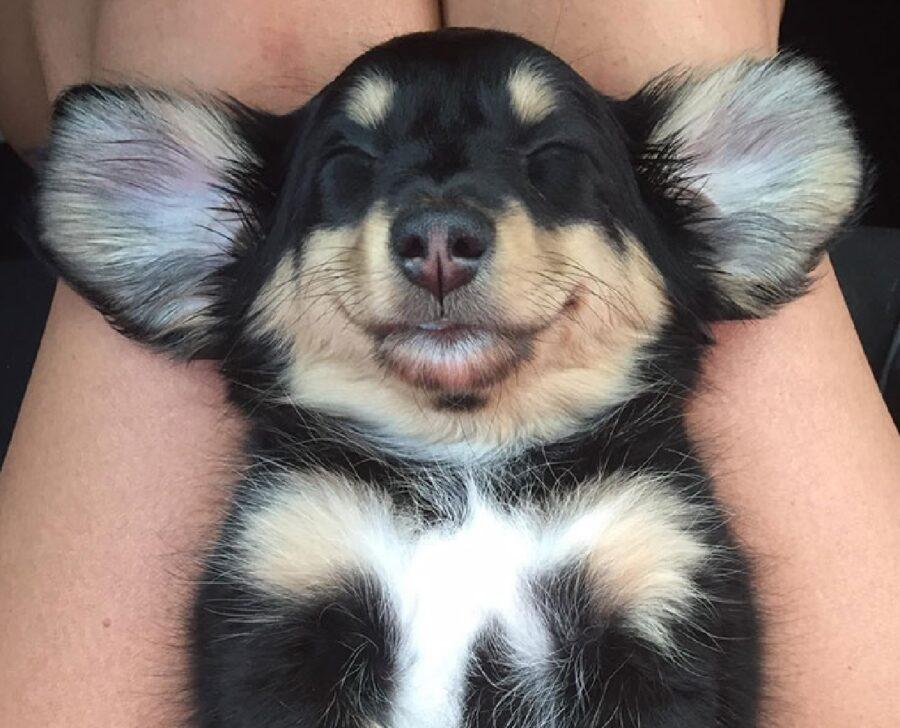 cane riposa fra gambe