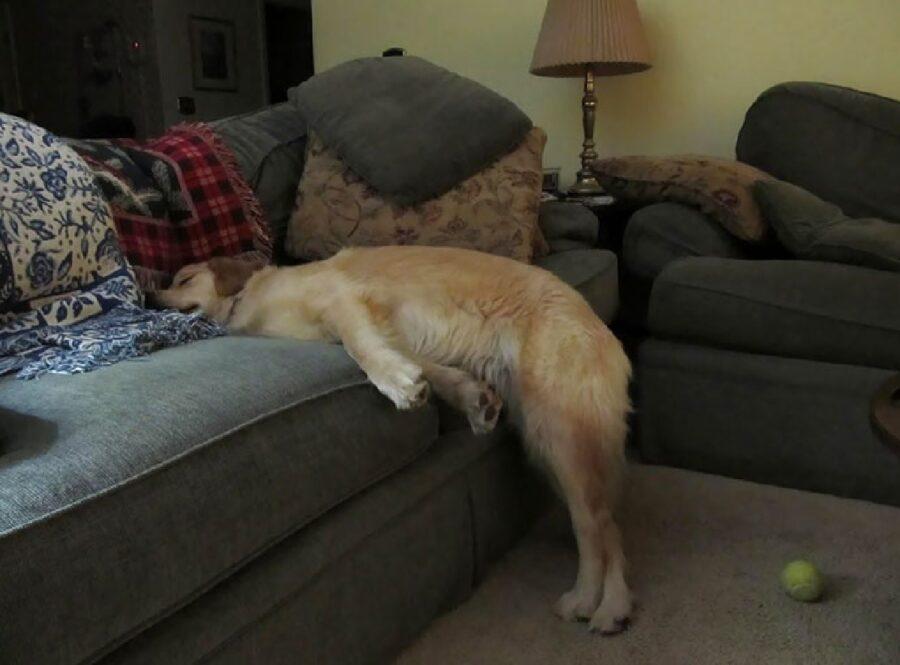 cane golden riposa per metà