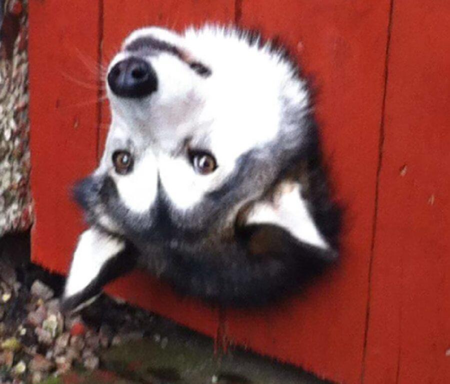 cane husky testa al contrario