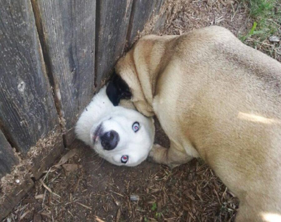 cane bianco occhi azzurri