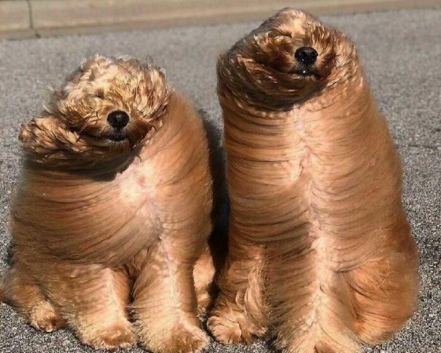 coppia di cani pelo al vento