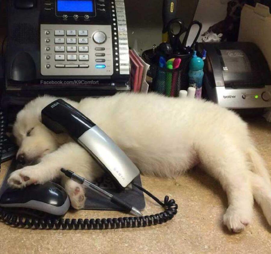 cucciolo stanco lavoro d'ufficio
