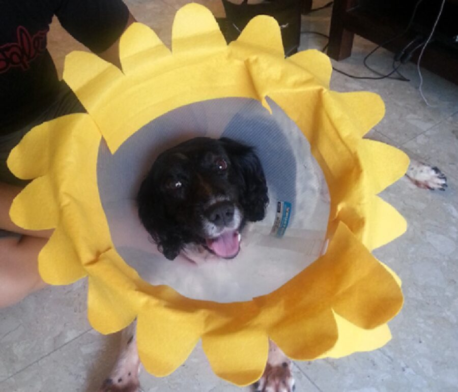 cane collare elisabettiano fiore