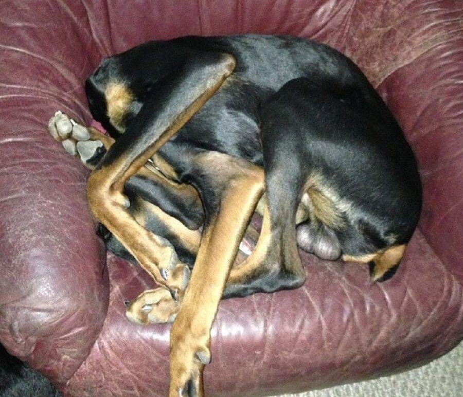 cane raggomitolato su se stesso