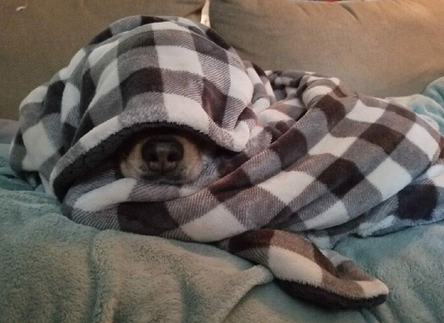 cane coperta copre viso