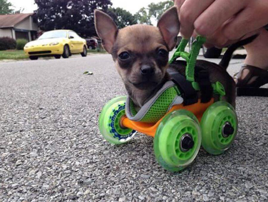 cagnolino adesso può camminare