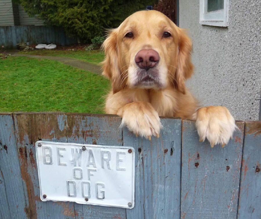 golden cane davanti avviso
