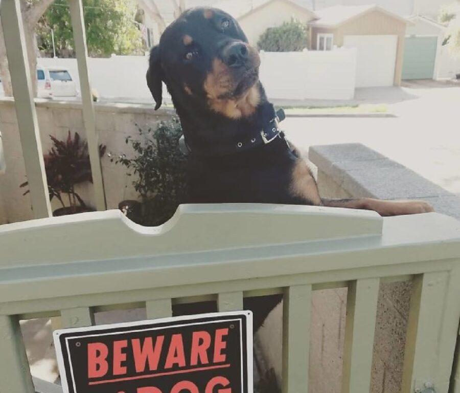 cucciolo rottweiler davanti cancello