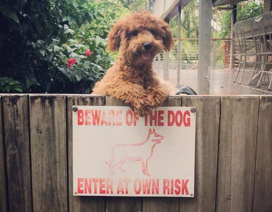cagnolino barboncino in piedi