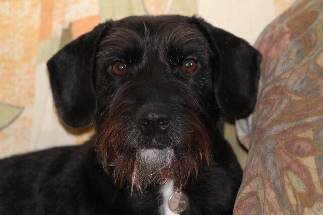 cane meticcio nero