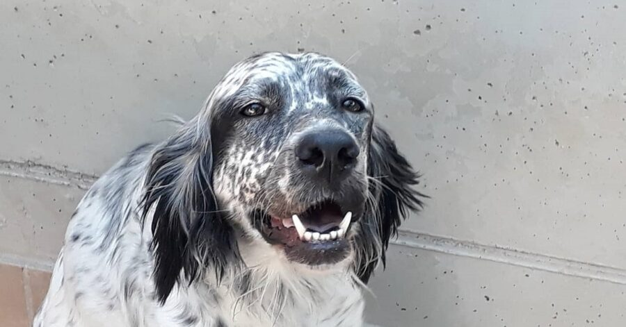 cane dal pelo bianco e nero