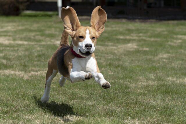 Beagle corre felice