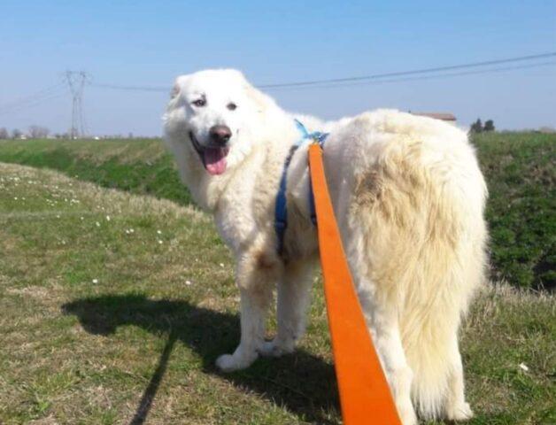 cane bianco passeggia