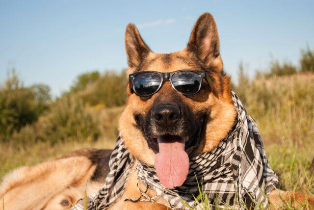 Pastore Tedesco con occhiali da sole