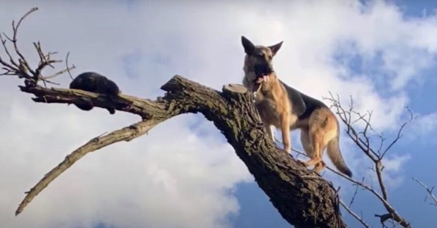 Pastore Tedesco salva un micio in pericolo