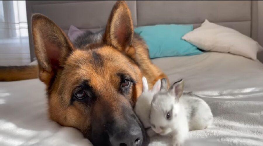 pastore tedesco conosce quattro coniglietti