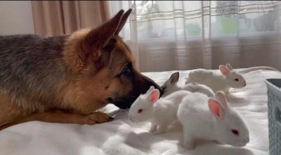 pastore tedesco e quattro coniglietti