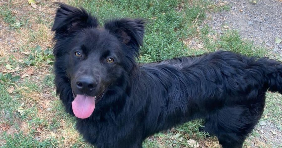 cane nero che osserva