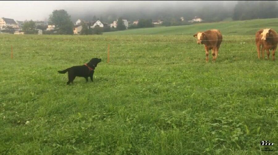 incontro tra un adorabile cane e mucche
