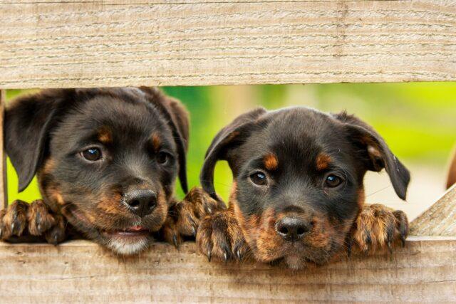due cuccioli di cane accanto tra assi di legno