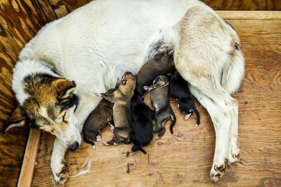 cane che allatta