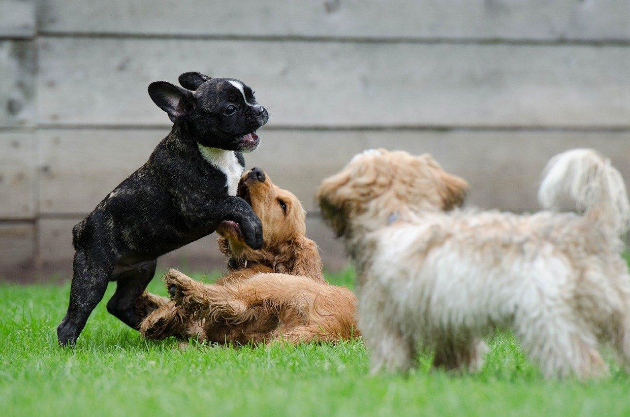 cani giocano felicemente