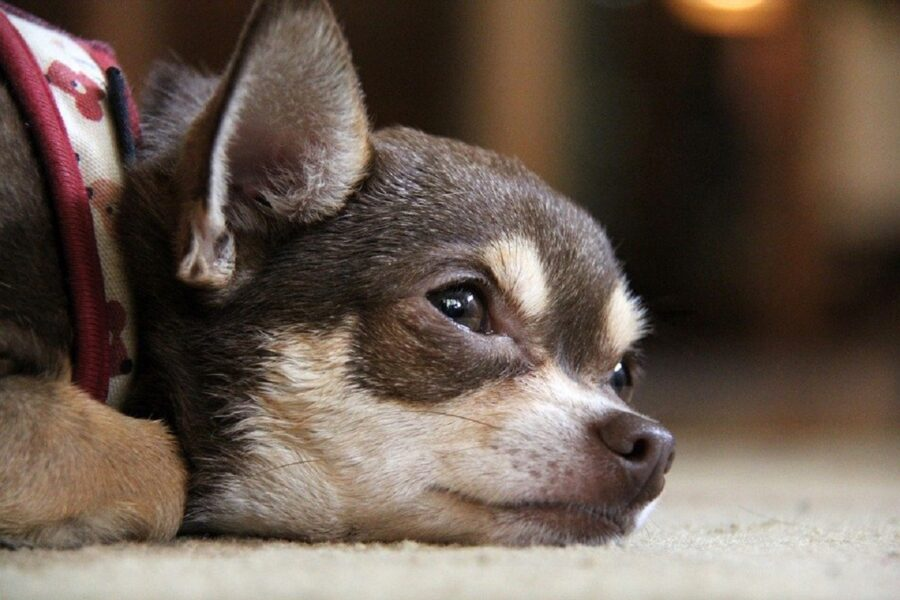 cane accoltellato due volte all'addome