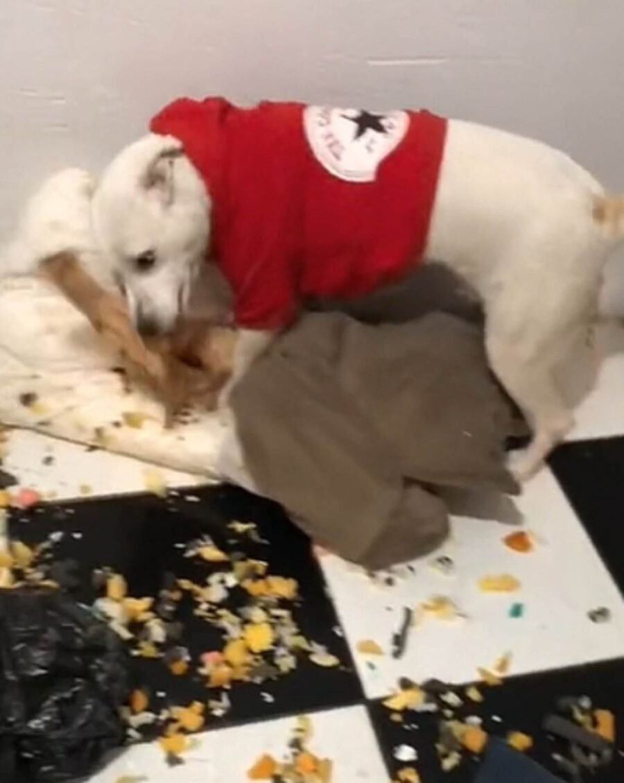 cane mangia il divano della sua casa