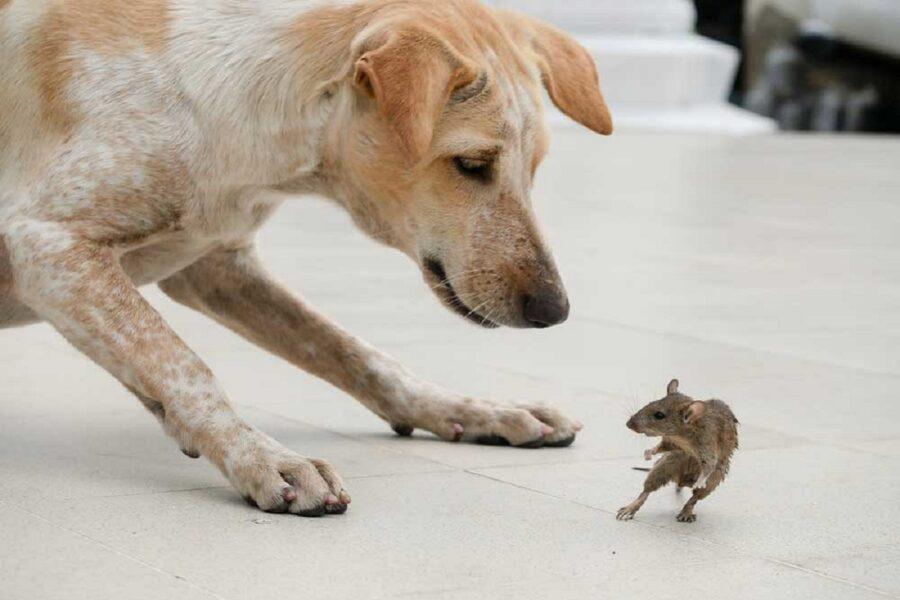 cane dà la caccia a un topo