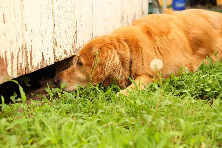 cane annusa sotto uno steccato