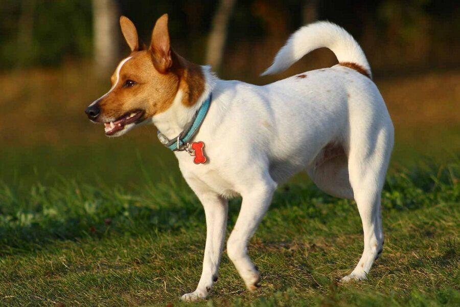 cane di razza rat terrier