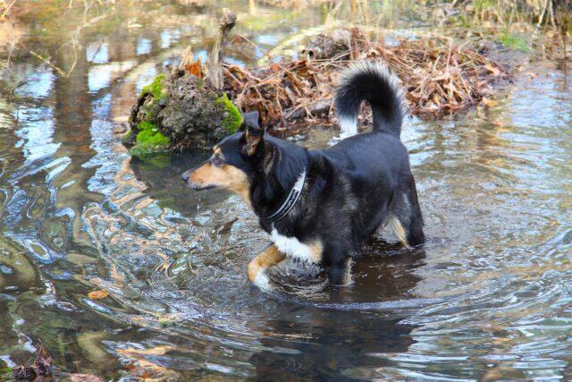 cane in un corso di acqua