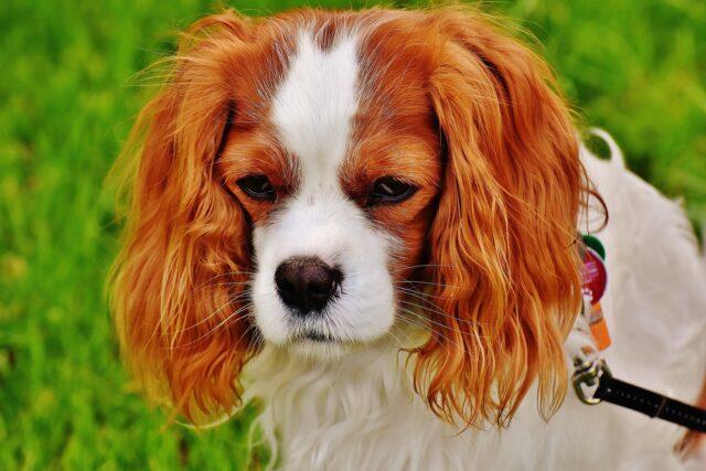 cane con espressione triste