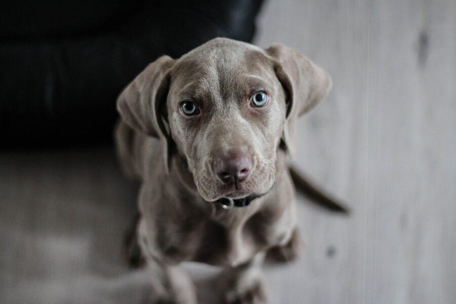 cane color grigio con occhi azzurri seduto