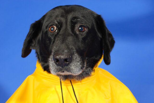 cane con impermeabile giallo