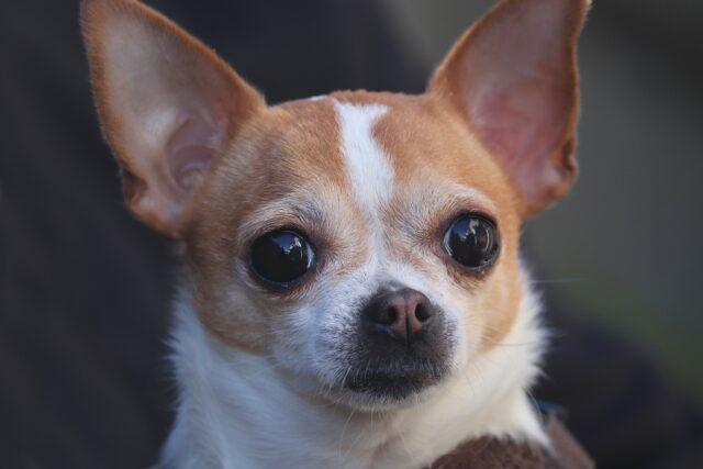 Chihuahua in primo piano