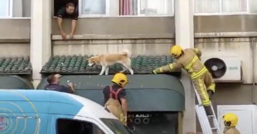 I vigili del fuoco salvano uno Shiba Inu a Gibilterra