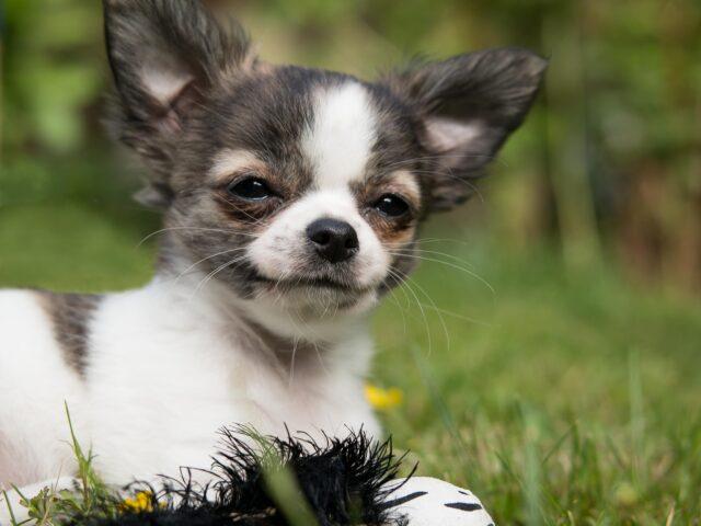 Chihuahua che sorride