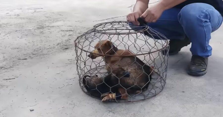 cani in gabbia in Vietnam