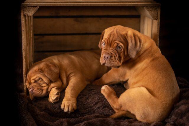 cuccioli di razza