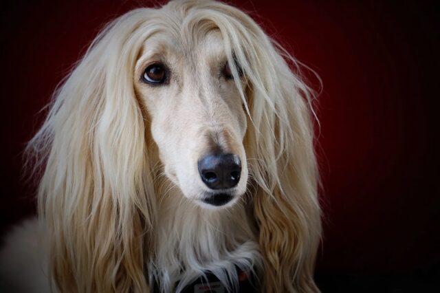 cane col pelo lungo