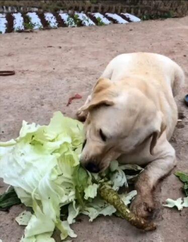goloso cane mangia verdure