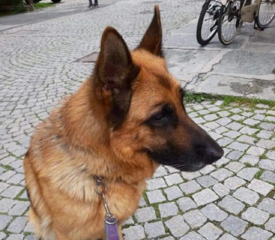 cane pastore tedesco guinzaglio