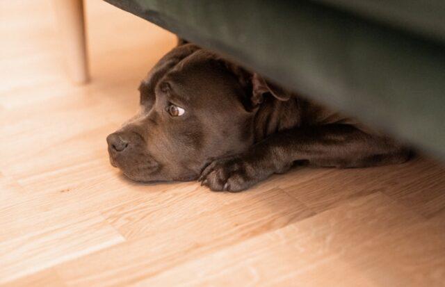 smarrito un cane pitbull di nome tyson